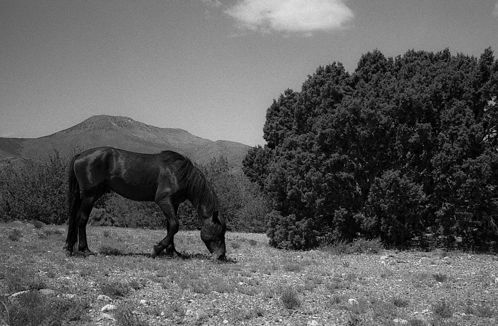 Wild Mustang using film - Eastman Double-X, EI 400 • Leica M6, Summicron 35mm