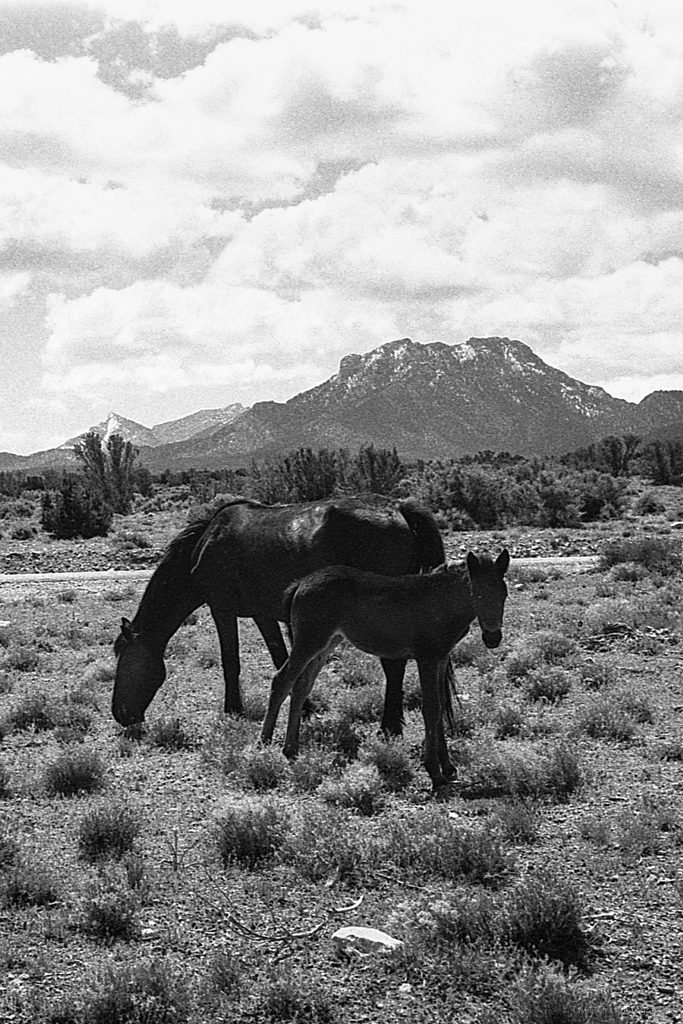 Wild Mustangs • Leica M6, Summicron 35mm